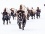 Bison group in Yellowstone