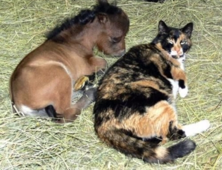 Mini Horse And Cat Horses Animals Background Wallpapers On