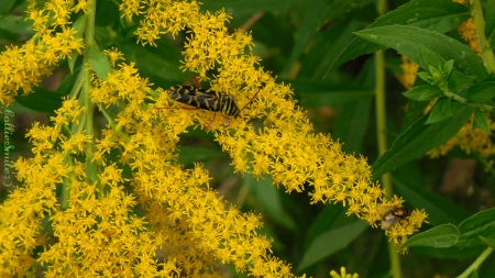 Mystery Bug & a Fly on Goldenrod - golden, goldenrod, plant, bugs, yellow, green bottle fly, pollinator, borer, plants, flower, insect, flowering, pollen, Canada Goldenrod, pollinators, insects