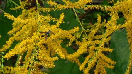 Black Thread Waisted Wasp on Goldenrod - wasp, goldenrod, plant, yellow, hoverfly, pollinator, pollen, insects, pollinators, golden, wasps, bugs, plants, flower, insect, flowering, Canada Goldenrod