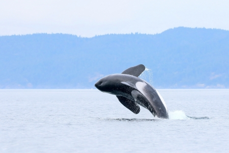 Orca Whale off coast of Victoria, British Columbia - whales, orca, animals, ocean