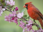 Red cardinal on Branches