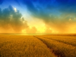 Golden wheat field and a beautiful summer