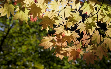 Maple Leaves - autumn, leaves, sun, maple, yellow