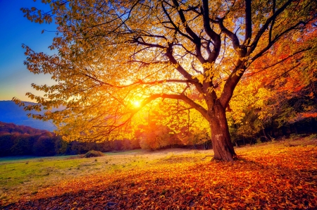 Beech tree in autumn - hills, fall, autumn, glow, sunlight, beautiful, foliage, beech, valley, mountain, tree, rays, slope