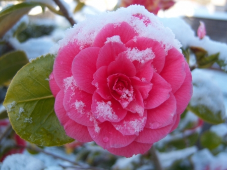 Snow on Camellia - snow, macro, flower, nature, petals, pink, camellia
