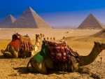 Camels near Great Pyramids of Giza