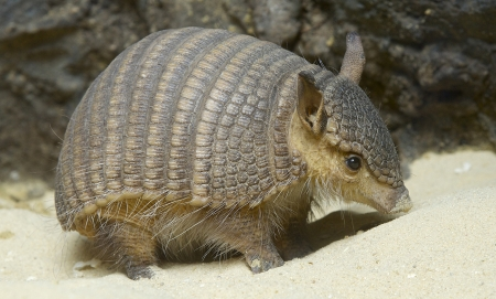screaming hairy armadillo - armadillo, screaming, hairy, animal