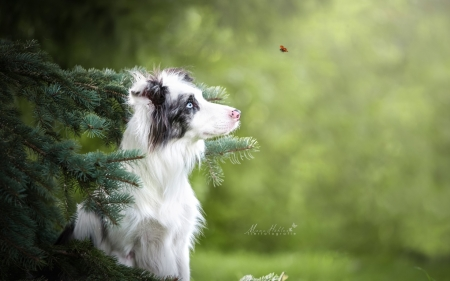 :) - australian shepherd, ladybug, green, caine, insect, dog, animal
