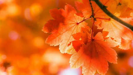Fall Oranges - fall, autumn, leaves, orange, bright, Firefox Persona theme, light