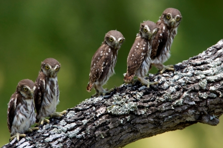 baby owls - baby, branch, bird, owl
