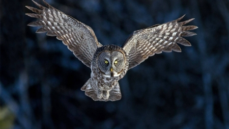 owl in flight - flight, animal, bird, owl