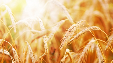 Ready To Harvest - fall, autumn, harvest, grain, grass, wheat, gold, summer, sunshine, oats, light