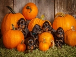 Puppies n pumpkins