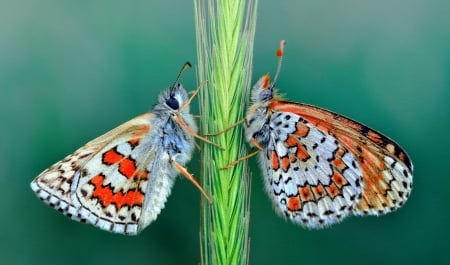 Face to face - red, mustafa ozturk, butterfly, fluture, green, orange, insect, couple
