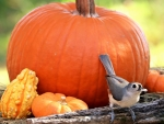 Tufted Titmouse and Pumpkins