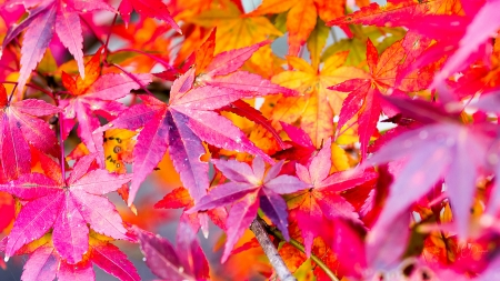 Changes - fall, leaves, colorful, maple, autumn, bright