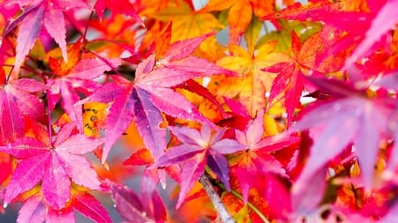 Changes - colorful, fall, autumn, leaves, maple, bright
