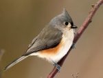 turfted titmouse twig bird