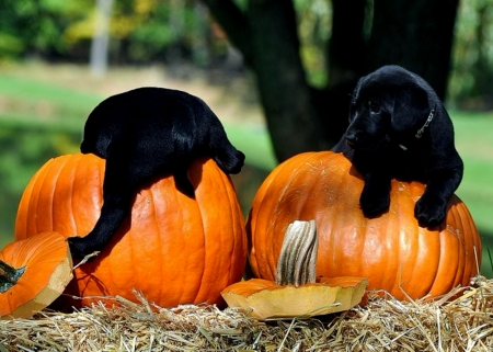 Black Puppies And Halloween Pumpkins Dogs Animals Background