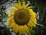 Sunflower Giant