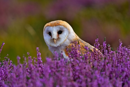Barn owl - Birds & Animals Background Wallpapers on ...