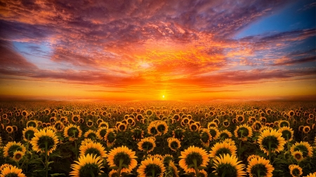 Sunset Over the Sunflower Field - sky, sunset, sunflowers, clouds, field, nature