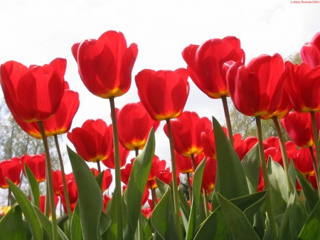 TULIPS - STEMS, PETALS, LEAVES, NATURE