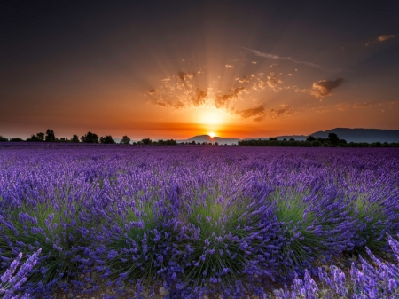 Lavender Field - Field, Flowers, Sunrise, Nature