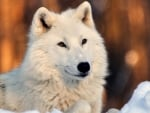 Lovely White Wolf in Snow