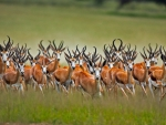 African antilopes