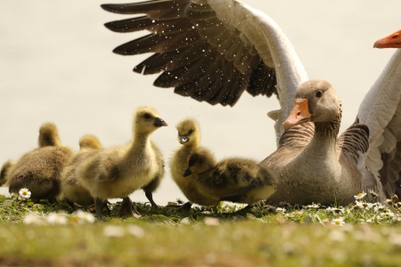 Goose - nature, bird, Goose, animal