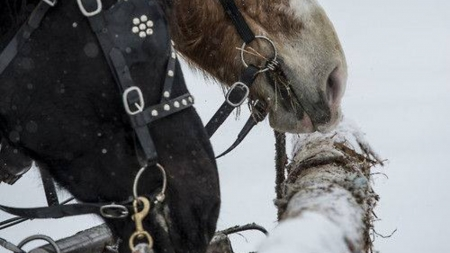 in the snow - animal, snow, horse, winter
