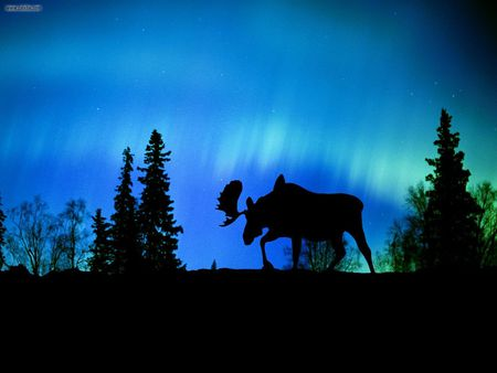 Night phenomenon - northern lights, moose, blue, aurora, canada, night, silhouette
