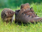 hedgehog boot
