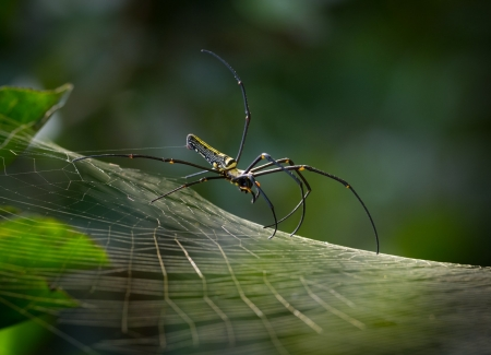 Spider - Spider, web, animal, leaf