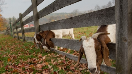 can i look - feild, goat, animals, fence