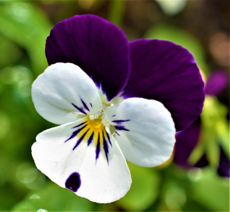 Viola and teardrops - gardening, Sad, spring, Brisbane, viola, memory, flower, nature, Australia, teardrop, purple white, loss, flower garden