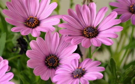 African Daisies - African, Daisies, Flower, nature
