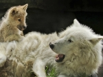 White Wolf and Her Pup