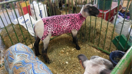 Ohio County Fair: Designer Sheep! :D - sheep, stripes, county fair, lamb, lambs, leopard pattern, pink, blue, Ohio county fair