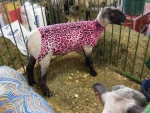 Ohio County Fair: Designer Sheep! :D