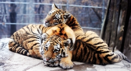 Tiger cubs - big cat, paw, pui, tiger, animal, cute, cub, tigru, couple, pisica