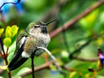 Fluffy Hummingbird - Bird
