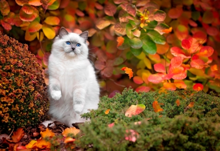 Enjoying the autumn season - fall, autumn, fluffy, adorable, foliage, sweet, leaves, kitty, fun, park, joy, trees, cat, cute, ragdoll, kitten, white