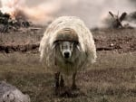 The battlesheep