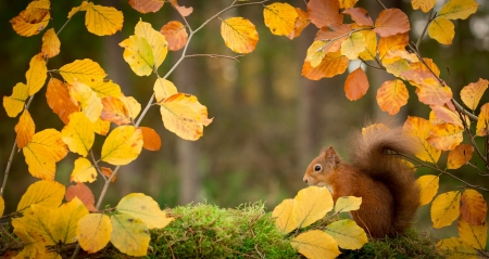 squirrel in the branches - leaves, animal, squirrel, branches, autumn