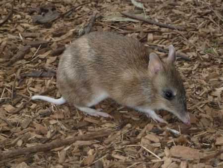 eastern barred bandicoot - australian, bandicoot, barred, eastern