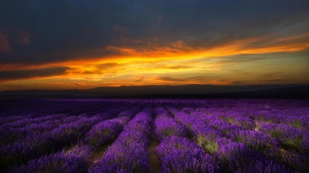 Lavender fields at the sunset - sunset, lavender, nature, field