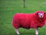 Red Sheep